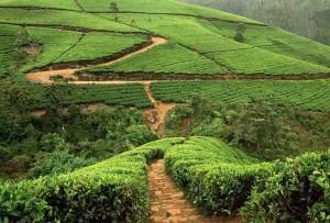 Tea Plantations SriLanka