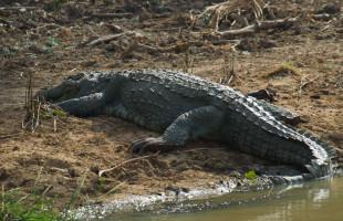 crocodile-srilanka
